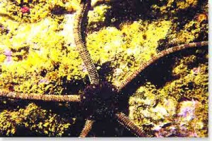 seastar-brittle